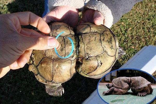 Những cảnh tượng tương tự xảy ra với nhiều chú rùa xấu số khác.