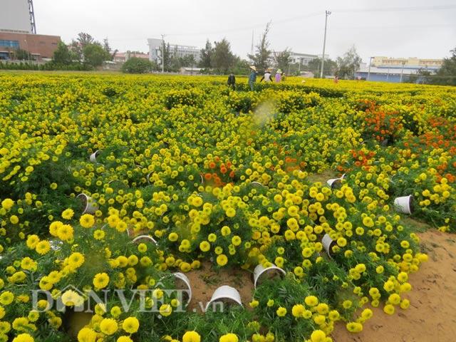 Tan tác những vườn vạn thọ Tết ở Tuy Hòa vì gió mưa bất thường.
