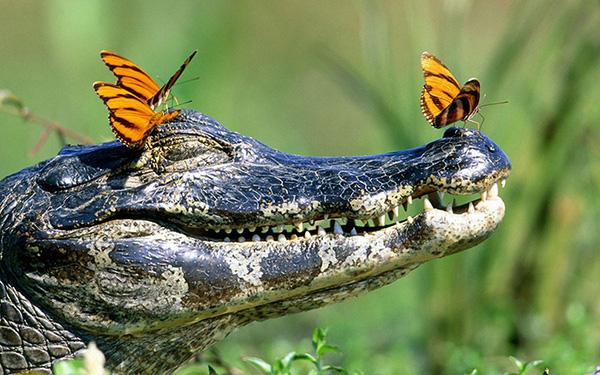 Đôi khi chúng chọn cả cá sấu để uống nước mắt
