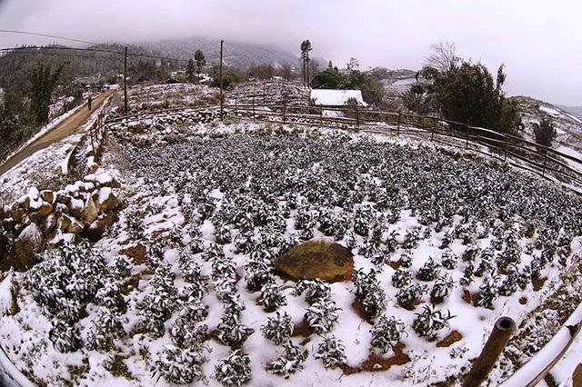 Toàn bộ các khu vực trồng rau củ hoa quả của người dân Lào Cai bị vùi trong tuyết. Ảnh: Báo Lào Cai