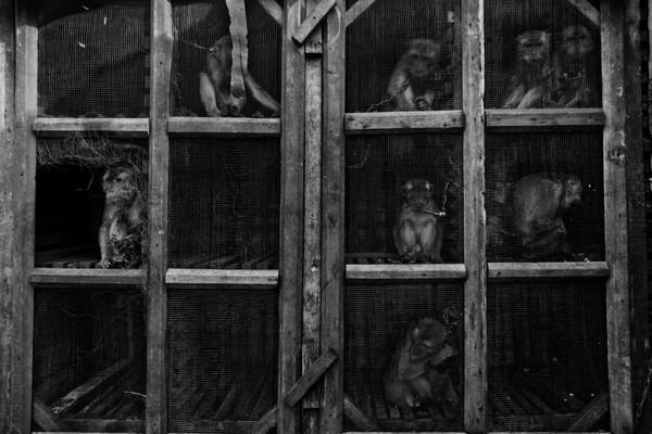 Mặc dù đối xử với lũ khỉ rất tàn nhẫn, thế nhưng chủ nhân của những con vật này cũng đang sống trong một hiện thực tàn khốc, sự đói nghèo, cùng quẫn, và bằng cách ép bọn khỉ biểu diễn họ mới có được một chút tiền trang trải cuộc sống.