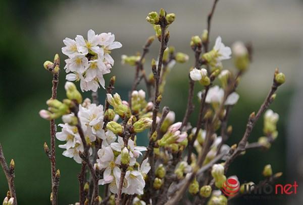 Những bông hoa anh đào rực rỡ khoe sắc giữa Hà Nội.