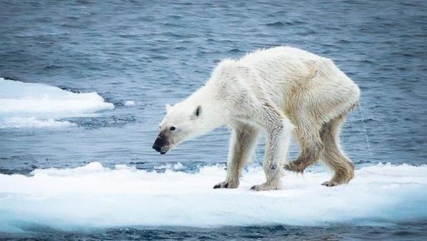 Một con gấu trắng bắc cực gày trơ xương vì đói khát.