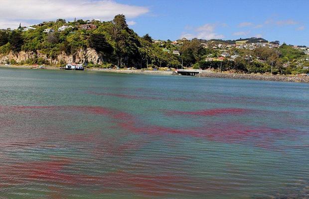 Tôm hùm nhuộm đỏ mặt biển ngoài khơi bán đảo Otago.
