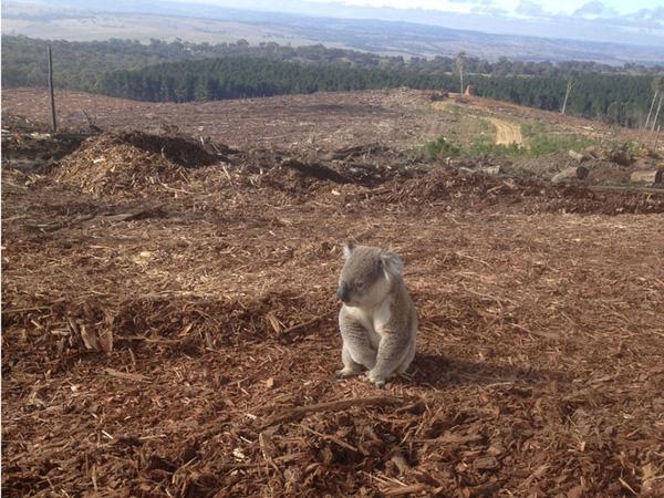 Chú gấu koala ngồi bần thần khi cả khu rừng xanh tươi giờ chỉ còn là khu đất trống.