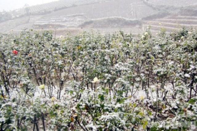 Vườn hồng ở Sapa oằn mình với tuyết. Ảnh: Tiền phong