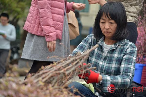Sau quãng đường dài vận chuyển, ngay khi vừa về đến Hà Nội, những cành hoa này đã được chuyên gia người Nhật chăm sóc.