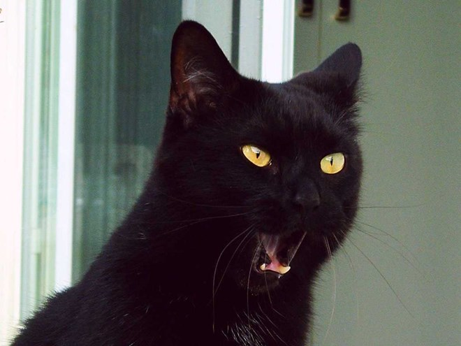 Mèo là loài vật thiêng liêng đối với người Ai Cập cổ đại.