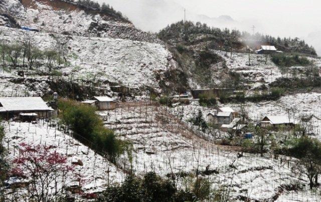 Hàng trăm ha thảo quả ở xã Dền Sáng (huyện Bát Xát) bị đổ gãy do mưa tuyết. Ảnh: Báo Lào Cai
