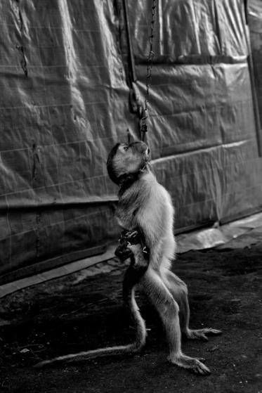 Vì bị xích liên tục, bọn khỉ đều tập được cách di chuyển bằng hai chân thành thục y như con người.