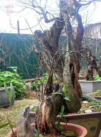Tất cả các tay cành của cây đào cổ đều sống bằng nguồn nhựa từ phần áp vỏ cây.