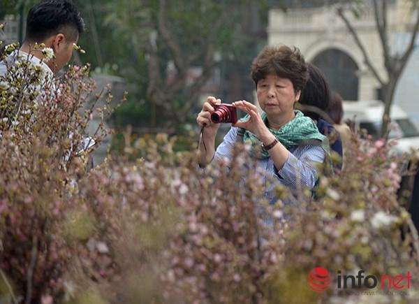 Được biết, hoa anh đào được lựa chọn từ tỉnh Okinawa, nơi có điều kiện thổ nhưỡng gần giống với Hà Nội nhất, cùng với sự giúp đỡ, chăm sóc của các chuyên gia Nhật Bản bảo đảm những cây hoa này sẽ sống khỏe và cho hoa tốt.