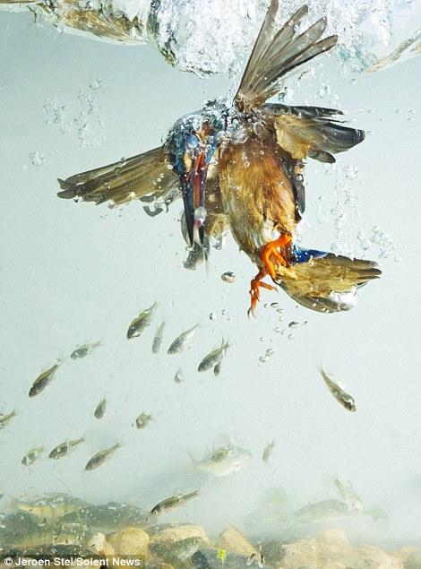 Chim bói cá thường sống ở các vùng nước chảy chậm, như hồ, kênh và hạ nguồn sông.
