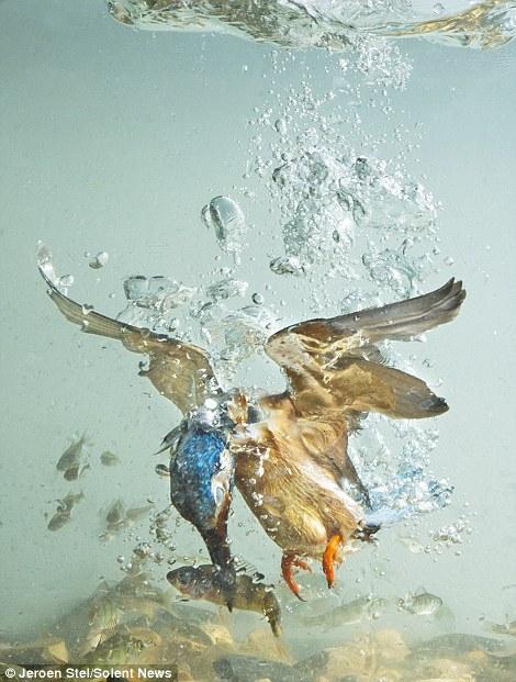Chim bói cá có đôi mắt đặc biệt có thể nhìn xuyên thấu mặt nước để phát hiện cá, không cần sự phản quang ánh sáng