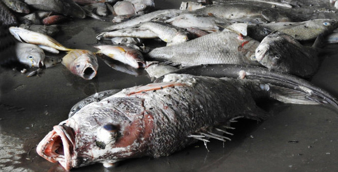 Cá chết hàng loạt ven các tỉnh miền Trung những ngày qua