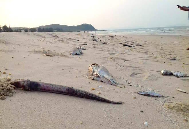 Suốt nửa tháng qua, dọc bãi biển từ Hà Tĩnh vào Thừa Thiên - Huế xuất hiện tình trạng cá chết tràn lan khiến người dân hoang mang. Ảnh: FB