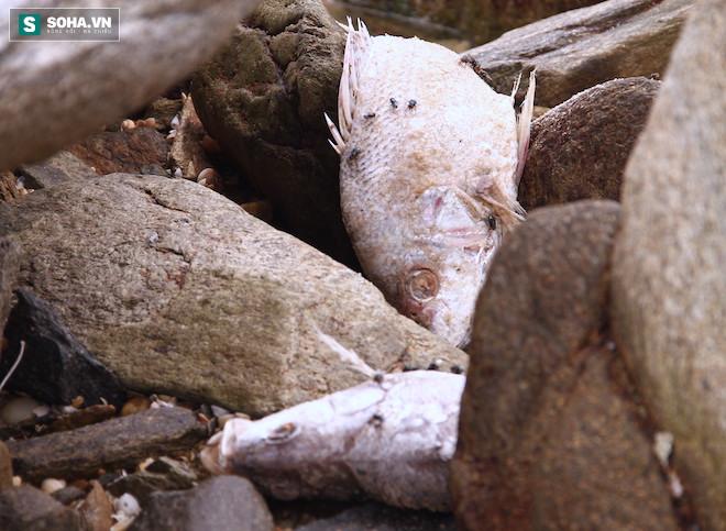 Nhiều loại cá chết bị đánh dạt vào bờ, các ngách đá ở dọc bờ biển Vũng Áng.