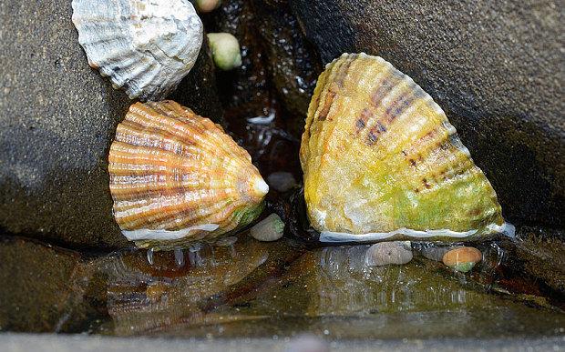 Ốc sên biển bên bờ đá