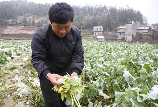 Anh Nguyễn Văn Quang bên ruộng rau bị hỏng. Ảnh: Lào Cai online