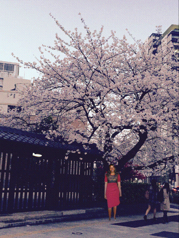 Ngắm hoa anh đào ở Nhật Bản.