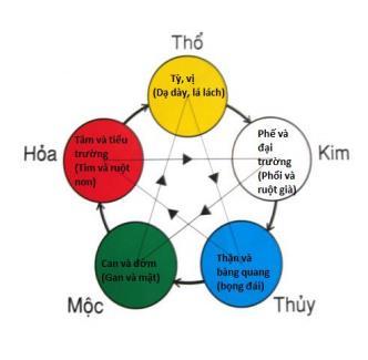 Lục phủ ngũ tạng cũng được xếp vào các phạm trù thuộc Ngũ Hành và nằm trong quy luật tương sinh - tương khắc. (Tranh minh họa).