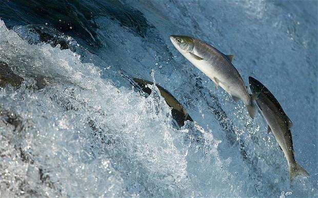 Cá hồi nuôi ở Seattles có thể nhiễm cocaine và nicotine.