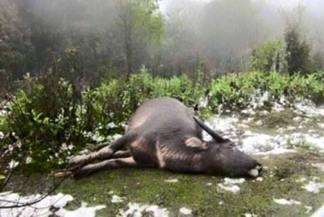 Trâu của người dân ở tỉnh Yên Bái bị chết do rét. Ảnh: Báo Yên Bái