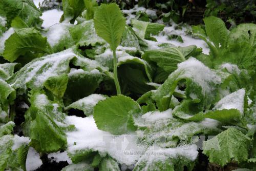 Hoa màu ở huyện Trạm Tấu ngập tuyết. Ảnh: Tuấn Anh/ TTXVN