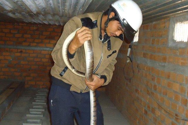 Anh Nguyễn Văn Thủy cho biết loài rắn hổ trâu hiền lành, lại không có độc rất dễ nuôi. Ảnh: Bá Thăng