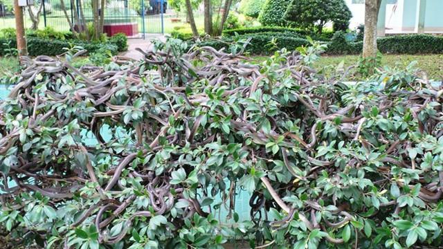 Hàng trăm con rắn đu mình trên cây tại một khu vực nuôi rắn trong trại rắn Đồng Tâm.