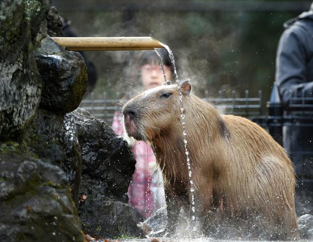 Chuột lang tắm dưới suối nước nóng trong một vườn thú ở thành phố Higashi Matsuyama, Nhật Bản.