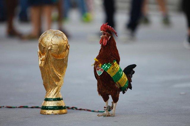 Một con gà trống đứng cạnh chiếc cúp giả trước sân vận động Maracana ở Rio de Janeiro, Brazil.