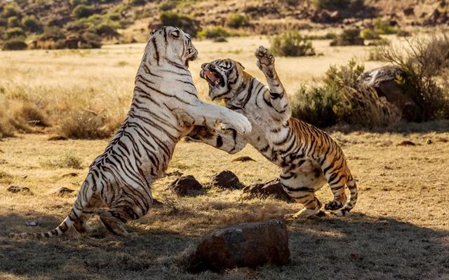 Khoảnh khắc hai con hổ cái đánh nhau để tranh giành lãnh thổ.