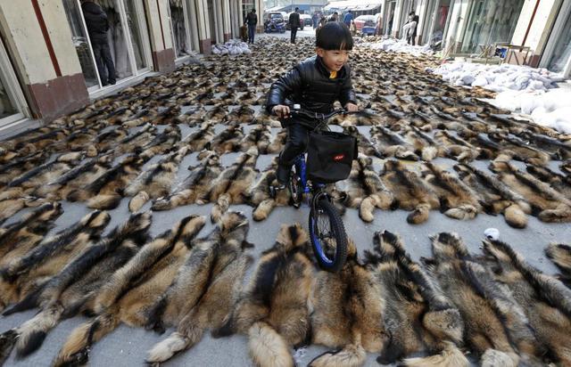 Cậu bé đạp xe qua lông của loài racoon tại một khu chợ bán lông thú ở thị trấn Chongfu, tỉnh Chiết Giang, Trung Quốc.