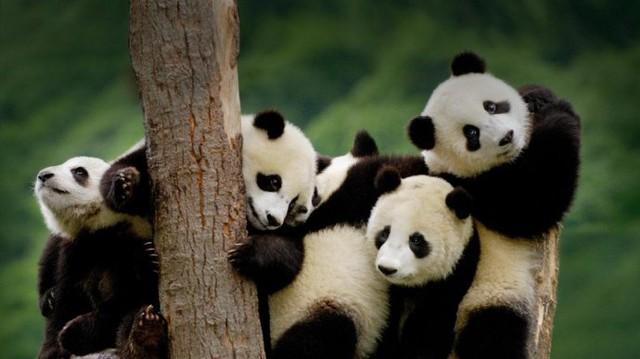 Loài gấu trúc hiền lành với vẻ ngoài đáng yêu được Trung Quốc xem như quốc bảo và trở thành đại sứ ngoại giao của quốc gia này. Ảnh: Sina.
