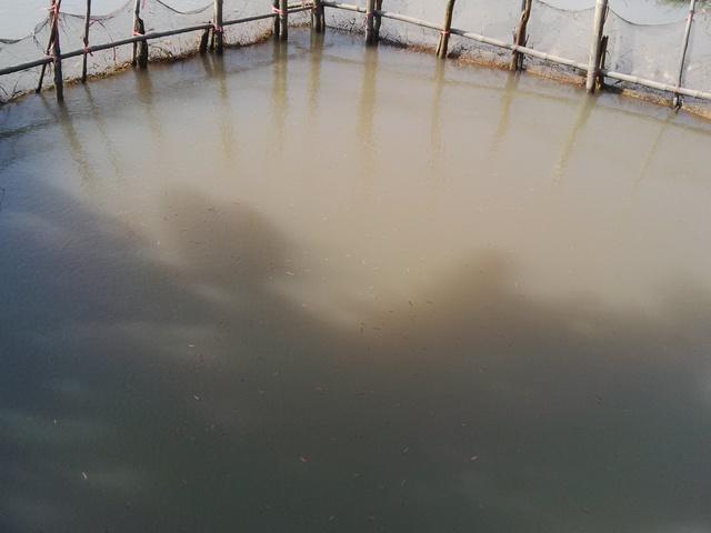 Rươi theo dòng chảy sẽ được dồn lại tại khu vực trũng của đầm để thu hoạch