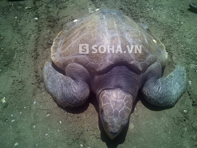 Con rùa lạ, quý hiếm nặng hơn 20 kg vừa được ngư dân Thọ phát hiện trong lúc đánh cá trên biển.