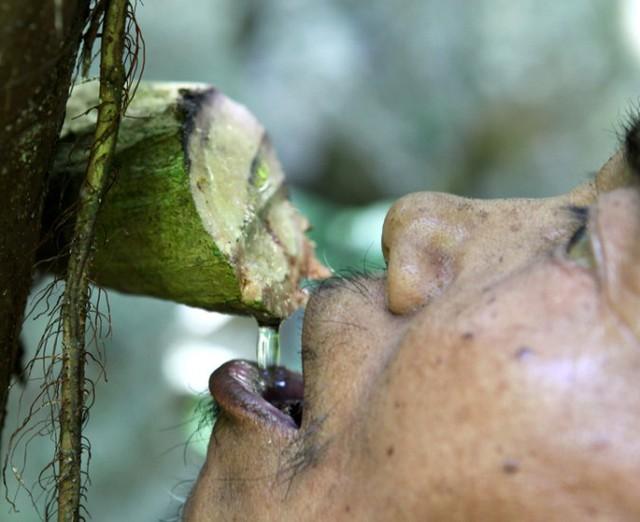Một người Rục uống nước trực tiếp từ dây leo trong rừng. (Ảnh: Dân Việt)