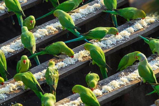 Những con vẹt xanh đuôi dài được ông Sekharcho ăn mỗi sáng