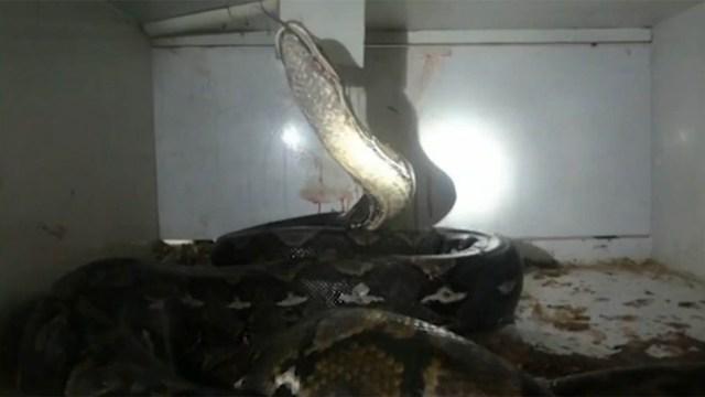 Hiện trường kinh hoàng vụ con trăn tấn công chủ cửa hàng bò sát. (Nguồn: nbcnews.com)