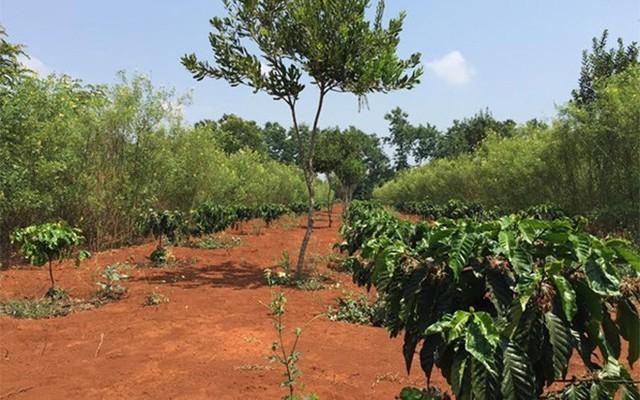 """Cây cà phê """"chung sống hòa bình"""" trên cùng một khu đất với mắc-ca, nhờ trồng xen canh. Đây cũng là phương pháp trồng chủ yếu hiện nay đối với mắc-ca tại Tây Nguyên, nhờ cây có khả năng chịu hạn tốt, dễ sống, không cần chăm bón nhiều, đồng thời có thể"""