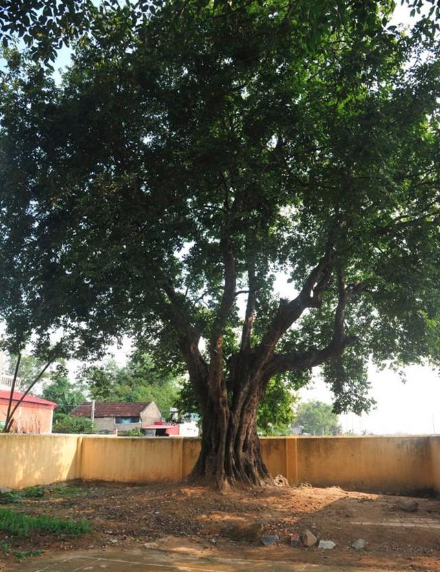 Hai cây thị 600 năm tuổi là cây di sản Việt Nam