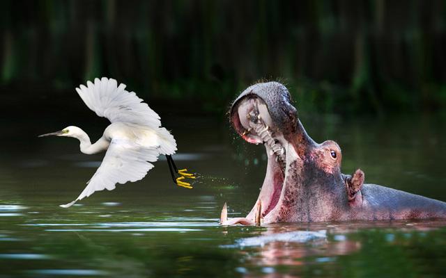 Hà mã đói há miệng cố gắng đớp chim diệc bay phía trước tại hồ Mburo ở Uganda.
