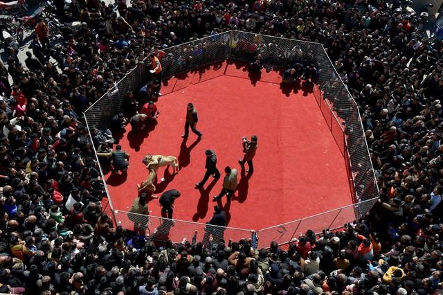 Đám đông theo dõi một trận chọi chó ở thành phố Vận Thành, tỉnh Sơn Tây, Trung Quốc.