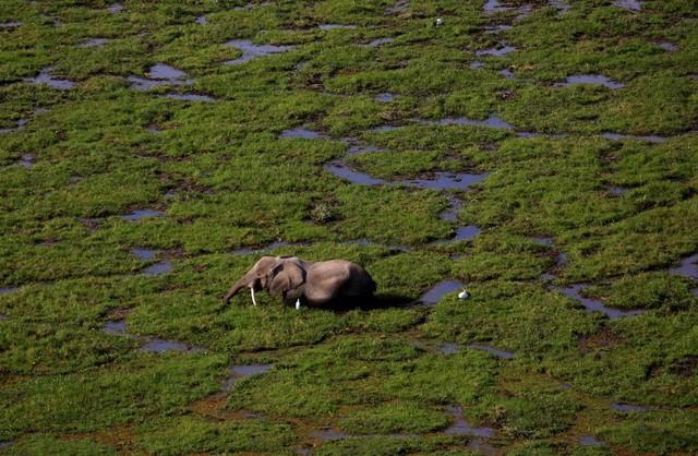 Voi băng qua đầm lầy trong vườn quốc gia Amboseli ở Kenya.