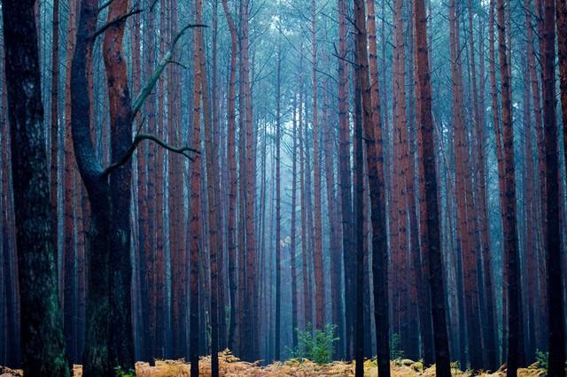 Rừng thông vào buổi sáng mùa thu ở Furstenwalde, Đức.