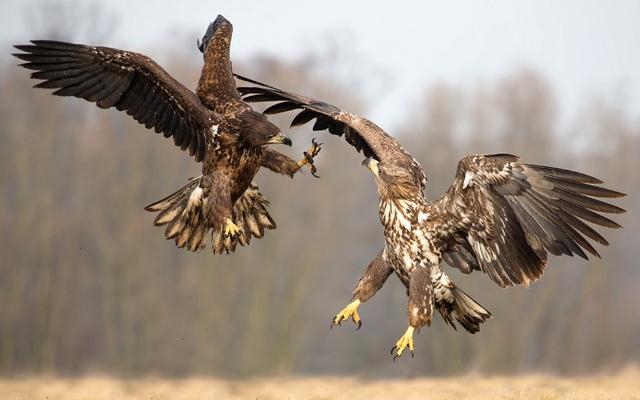 Đại bàng đuôi trắng quyết chiến trên không để tranh giành thức ăn ở Kutno, Ba Lan.