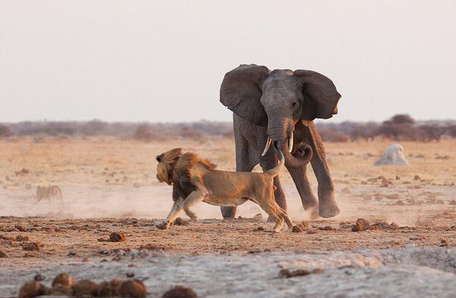 Nhiếp ảnh gia Jan Hrbacek ghi lại được cảnh tượng sư tử chạy tóe khói sau khi bị voi truy đuổi trong vườn quốc gia Nxai Pan, Botswana.