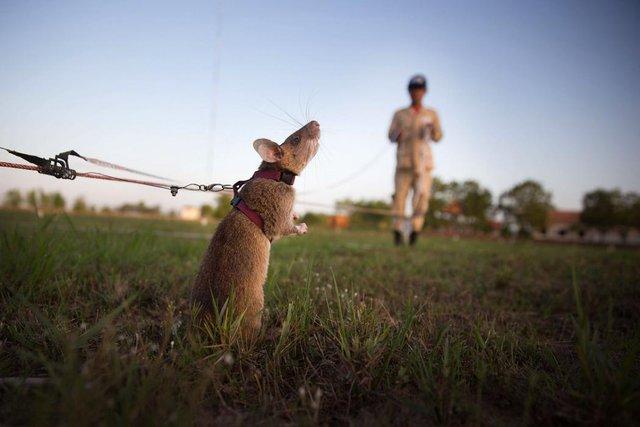 Chuột được huấn luyện tìm kiếm mìn và thuốc nổ tại Siem Reap, Campuchia.