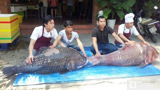 Cặp cá hô khủng mới được thương lái ở Sài Gòn mua về
